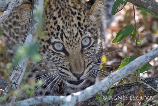 Jeune femelle léopard intimidée