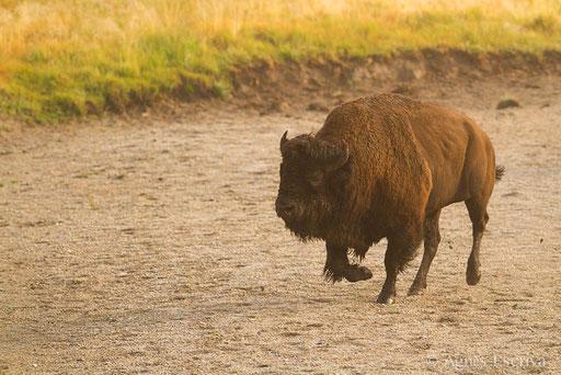 Bison mâle chargeant un congénère