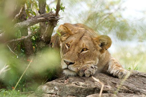 Jeune lionne de Paradise