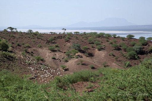 Lac Magadi et troupeau de chèvres masaï