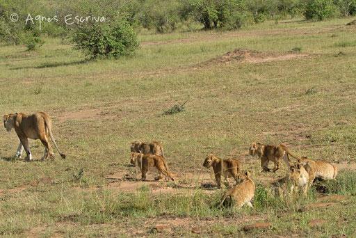 Un lionne du clan de Notch avec 8 petits (des fils de Notch) - Paradise