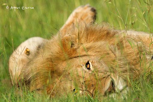 Jeune lion solitaire