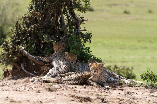 Quatre jeunes guépards de 5 mois (petits de Malaïka)