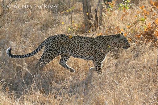 Safari, soeur de Saseka, née en 1993, mère de Karula et Matimba. Son oeil droit est crevé (août 2006)