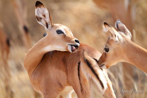 Jeunes impalas en pleine séance de toilette