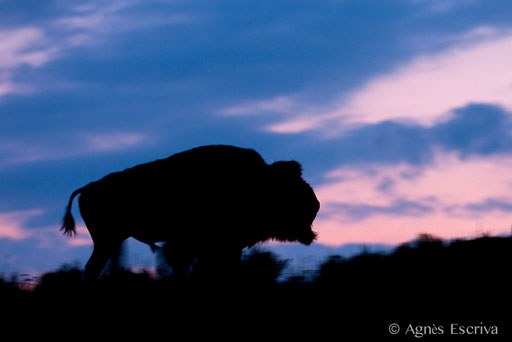 Bison mâle au crépuscule