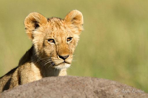 Lionceau des Breakaways (5 mois)