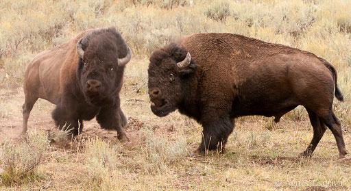 Combat de mâles bisons