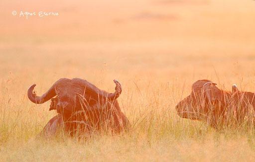 2 buffles au lever du soleil