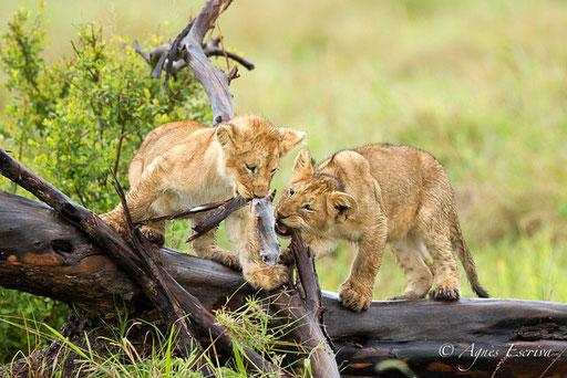 Lionceaux de la Marsh pride  (3 mois)