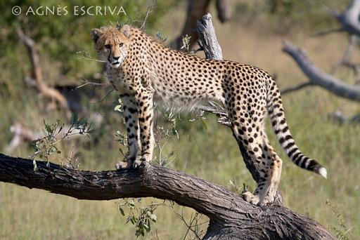 La fille guépard