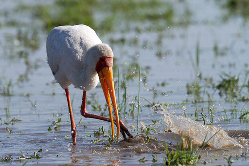 Tantale ibis à la pêche