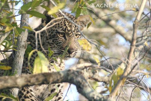 Matimba, jeune mâle né en décembre 2005. Sa soeur est morte des suites d'une morsure de serpent (août 2006)
