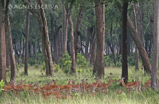 Forêt d'impalas