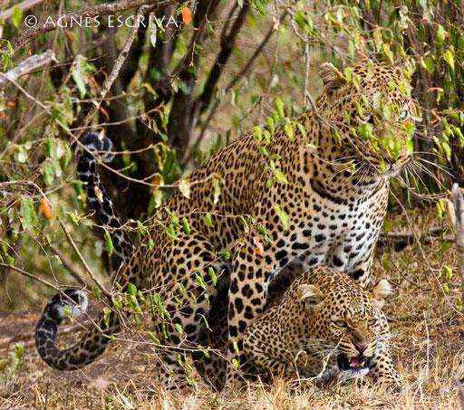 Amours de léopards