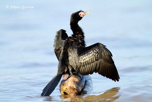 Cormoran d'Afrique