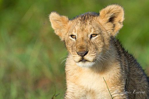 Lionceau de la Marsh pride