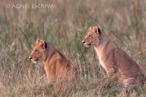 Lionceaux à la chasse