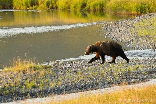 Vieux mâle ours grizzly