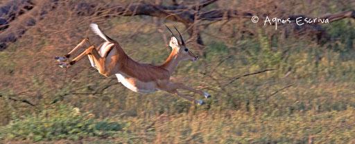 Saut d'impala 2