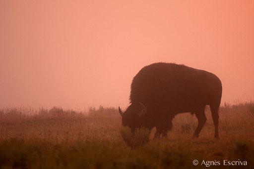 Bison mâle au petit matin