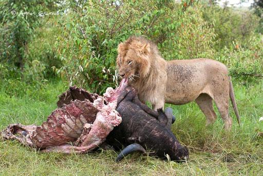 Scarface mangeant un buffle