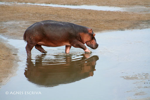 Hippo et reflet