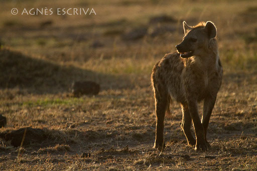 Hyène au petit matin