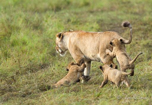 Lionceaux et leur maman du clan d'Olkiombo