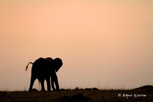 Eléphant au petit matin