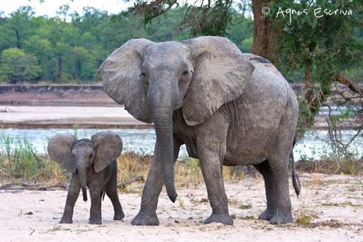 Maman éléphant et son jeune