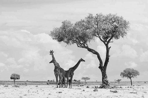 Girafes et savane