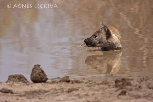 Hyène et son reflet à Mopani Dam