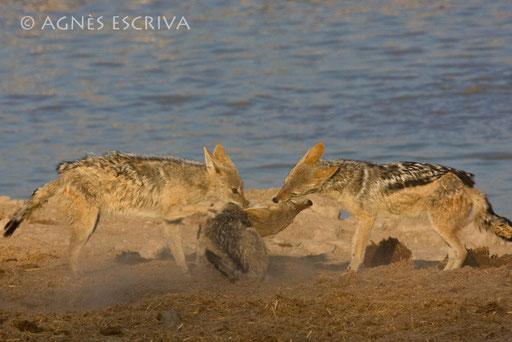 La rouste - Chacals à chabraque - Etosha