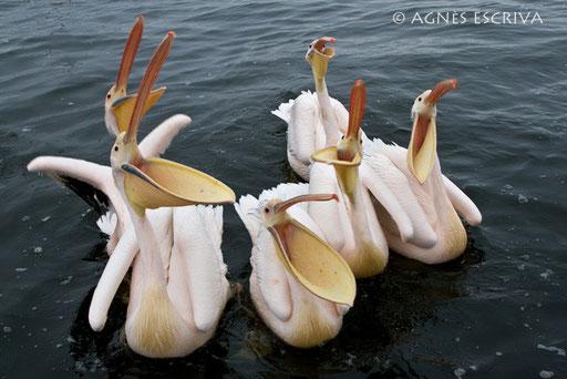 Choeur de pélicans - Walvis Bay