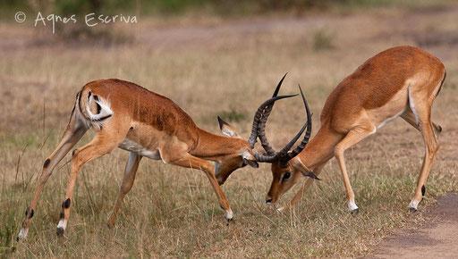 Combat d'impalas mâles