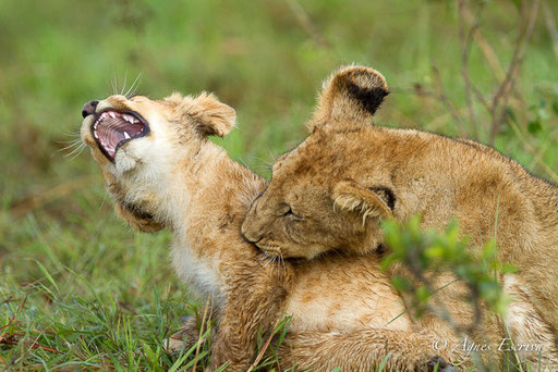 Lionceaux de la Marsh pride  (3 et 6 mois)