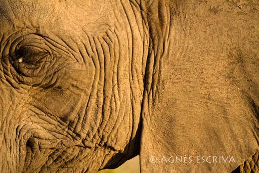 Close up d'éléphant