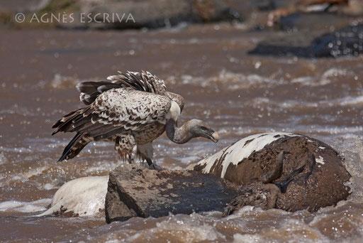 Repas de vautour
