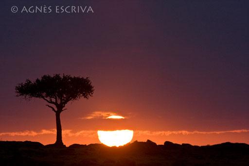 Silhouette d'acacia