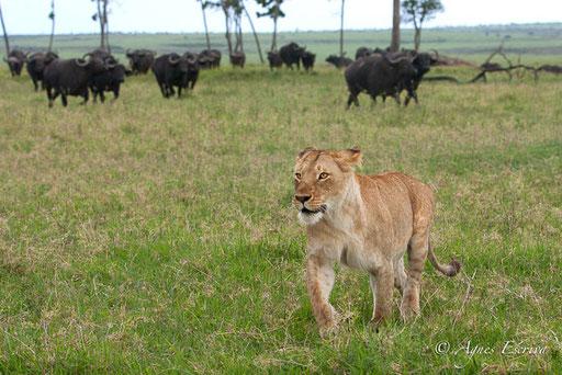 Une des 3 jeunes lionnes de la Marsh pride