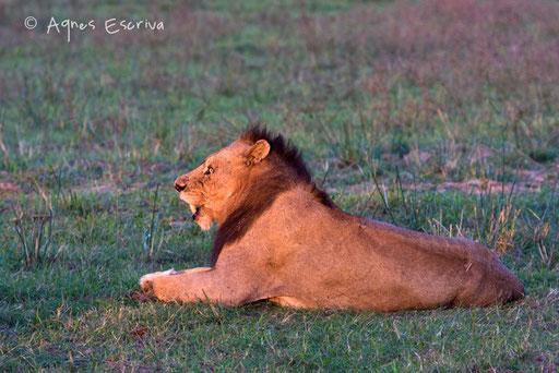 Lion mâle