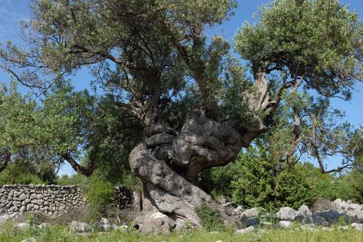 Bis 1600 Jahre alte Olivenbäume gibt es auf Pag