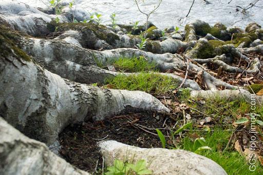 Россия, Адыгея. Корни дерева, спускающиеся к воде.