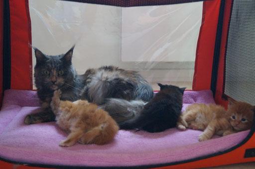 C'est plus calme chez Laly de Yellow House : 3 chatons mâles nés le 21 juin 2016.