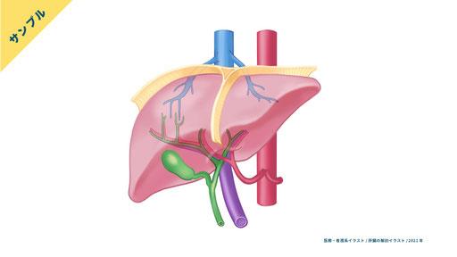 【解剖生理】肝臓・胆嚢のイラスト