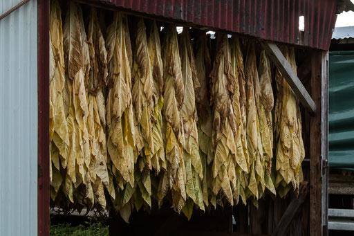 Es wird in der Gegend viel Tabak angebaut