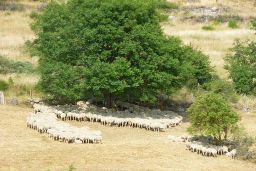 Troupeau de moutons résistants à la chaleur