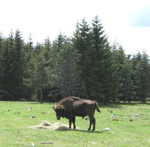 Parc des bisons de Saint Eulalie