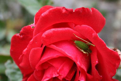 Rose et grillon